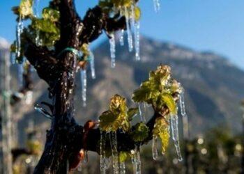 AOC Côtes de Provence - Coup de Gel sur les vignobles